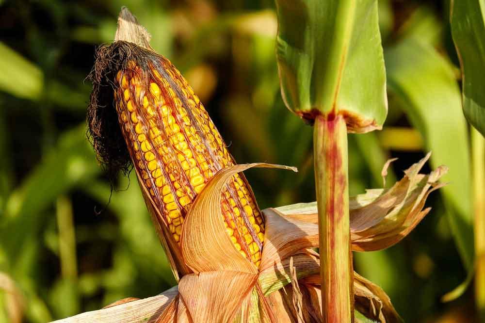 alimenti senza glutine mais